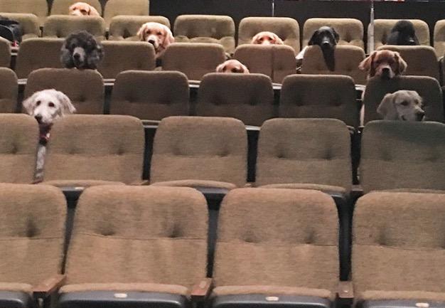 Cães de serviço aprendem a se comportar no teatro em uma visita coletiva muito fofa
