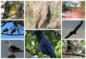 Canário-da-terra-verdadeiro (1), Carucaca (2), Gaivotão (3), gavião-chimango (4), gralha-azul (5), guarás (6), Urubu-de-cabeça-vermelha (7), tico-tico (8). Registros feitos por Rosário – Foto: fotos