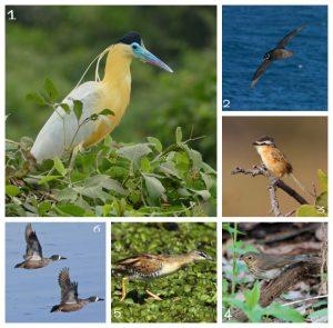 Dentre as espécies registradas por diferentes ornitólogos no site Aves de SC, durante os últimos 25 anos, estão a garça-real (1), pardela-de-óculos (2), papa-moscas-do-campo, (3), sábia de óculos (4), sanã-amarela (5), Marreca-de-asa-azul (6). Fotos pertencem, respectivamente, aos fotógrafos Bernard Dupont, , Don Faulkner, Brian Gratwicke e Marlin Harms – Foto: Wikimedia Commons/Divulgação/ND