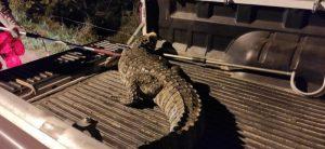 Jacaré-de-papo-amarelo está ameçado de extinção (Foto: Divulgação/ Polícia Militar Ambiental)