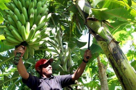 Bananicultores de Santa Catarina investem na diversificação da produção